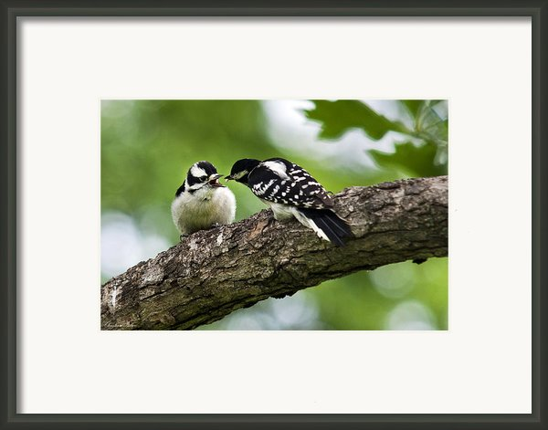 Downy Woodpeckers Framed Print By Christina Rollo