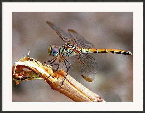 Dragonfly Framed Print By Graham Taylor