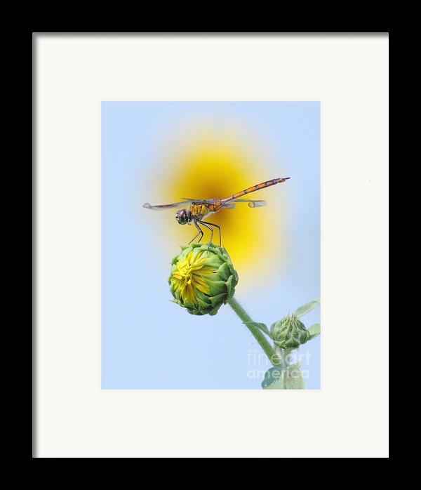 Dragonfly In Sunflowers Framed Print By Robert Frederick