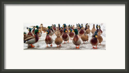 Duckorama Framed Print By Bob Orsillo
