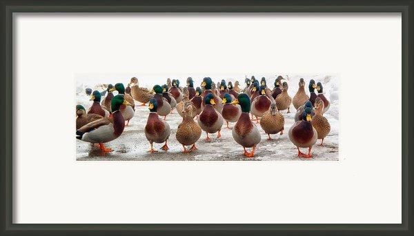 Duckorama Framed Print By Bob Orsillo