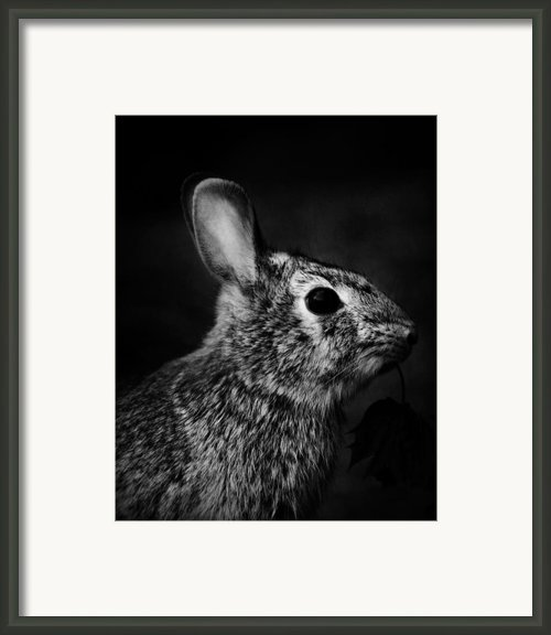 Eastern Cottontail Rabbit Portrait Framed Print By Rebecca Sherman