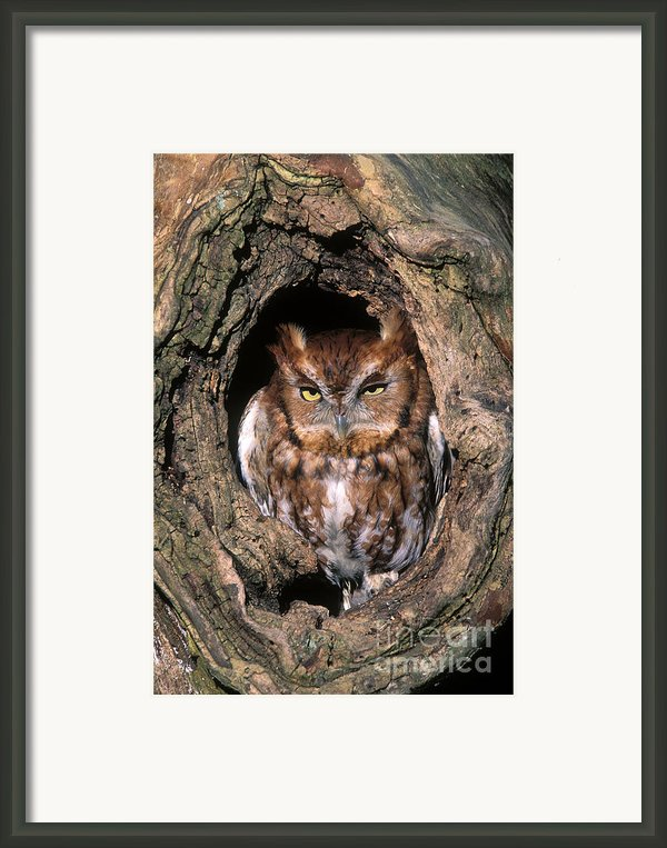Eastern Screech Owl - Fs000810 Framed Print By Daniel Dempster