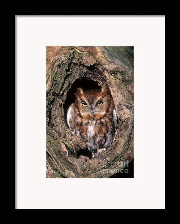 Eastern Screech Owl - Fs000810 Framed Print By Daniel Dempster
