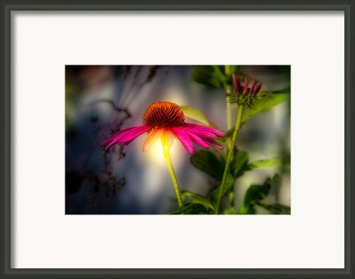 Echinacea Sunrise Framed Print By Bob Orsillo