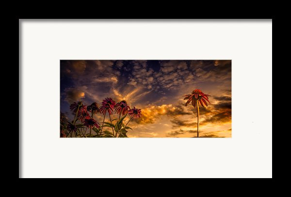 Echinacea Sunset Framed Print By Bob Orsillo