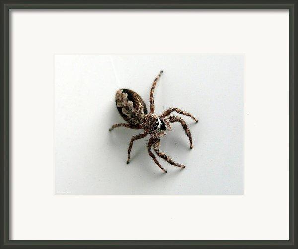 Elegant Jumping Spider Framed Print By Christina Rollo