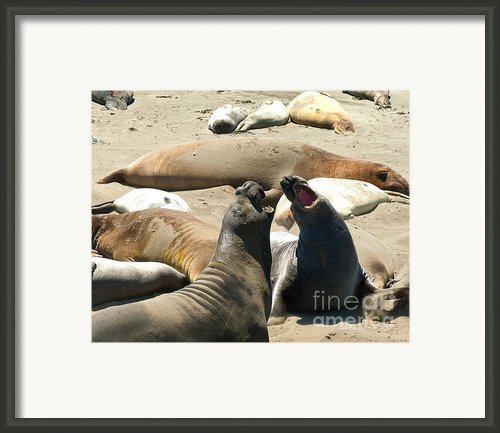 Elephant Seal Birthing Grounds Two Elephant Seal Bulls Fighting Framed Print By Author And Photographer Laura Wrede