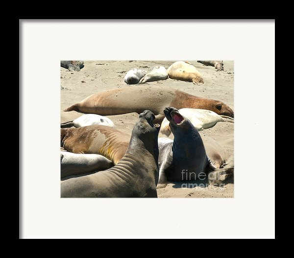 Elephant Seal Birthing Grounds Two Elephant Seal Bulls Fighting Framed Print By Artist And Photographer Laura Wrede