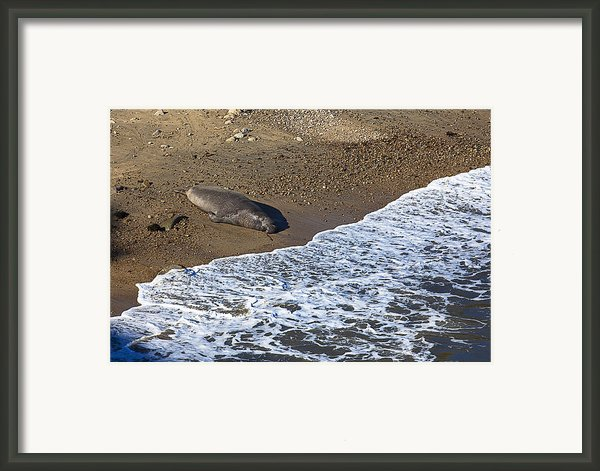 Elephant Seal Sunning On Beach Framed Print By Garry Gay
