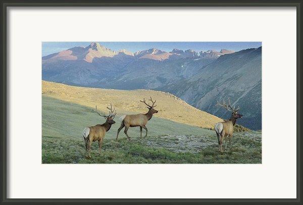 Elk Surprise.. Framed Print By Al  Swasey