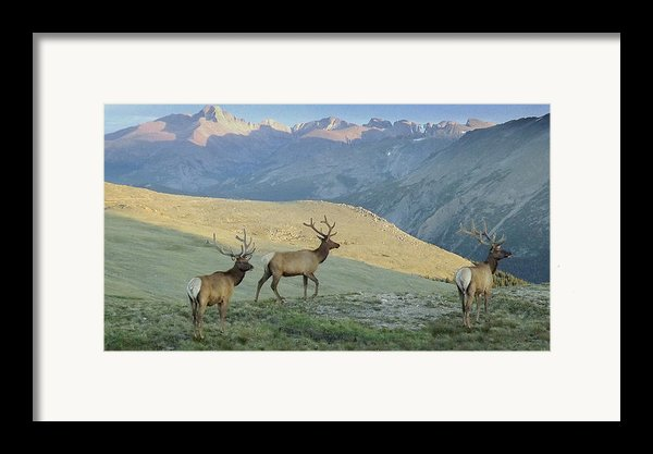 Elk Surprise.. Framed Print By Al  Swasey