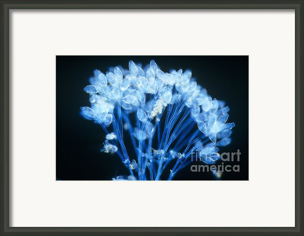 Epistylis Framed Print By Michael Abbey