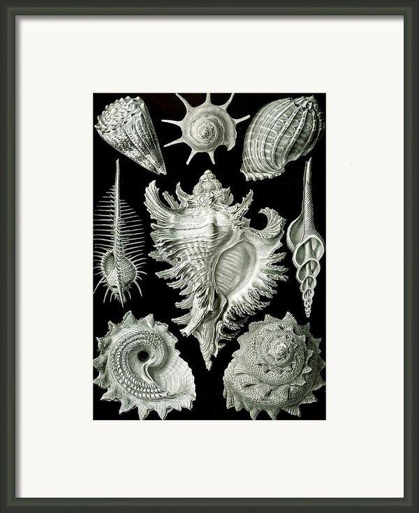 Examples Of Prosranchia Framed Print By Ernst Haeckel