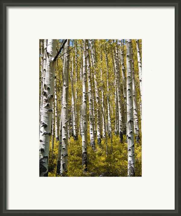 Fall Aspens Framed Print By Adam Romanowicz