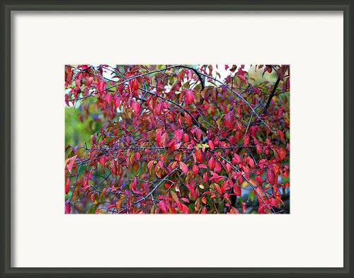Fall Foliage Colors 05 Framed Print By Metro Dc Photography