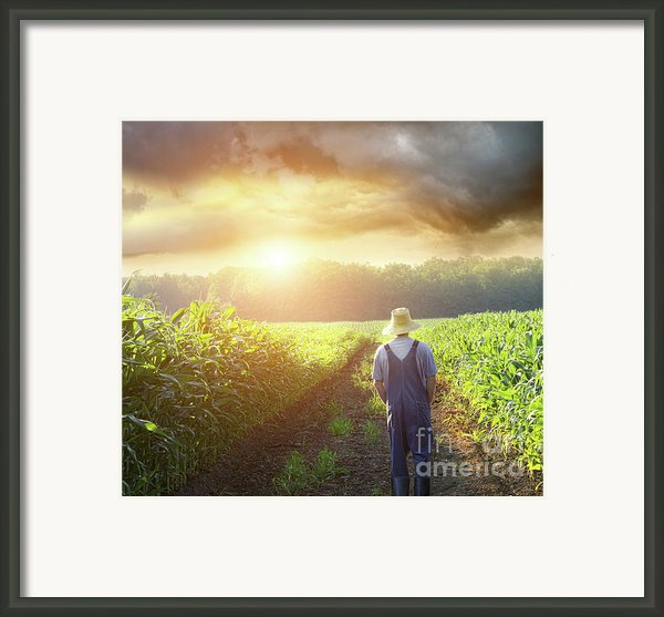 Farmer Walking In Corn Fields At Sunset Framed Print By Sandra Cunningham