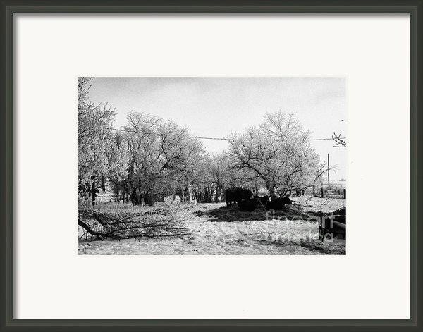 Feed And Fresh Grass Laid Out For Cows On Winter Farmland Forget Saskatchewan Canada Framed Print By Joe Fox