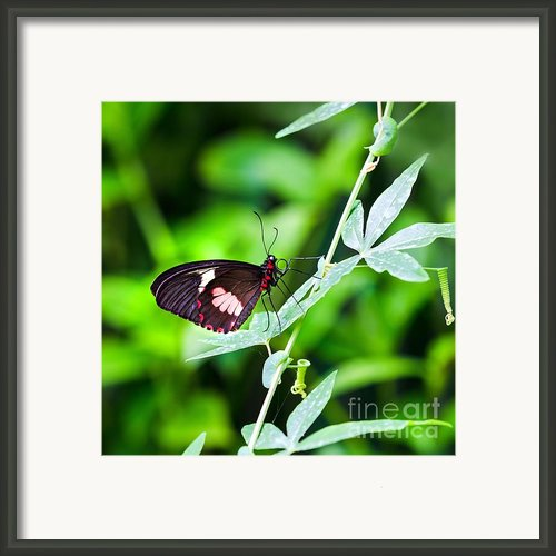 Female Pink Cattleheart Butterfly Framed Print By Jane Rix