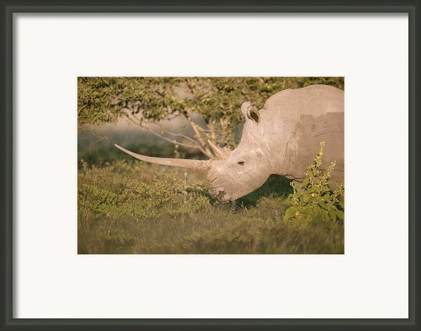 Female White Rhinoceros Grazing Framed Print By Science Photo Library