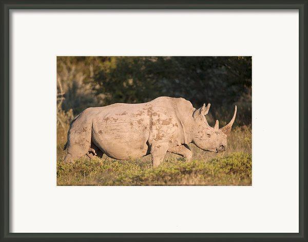 Female White Rhinoceros Framed Print By Science Photo Library