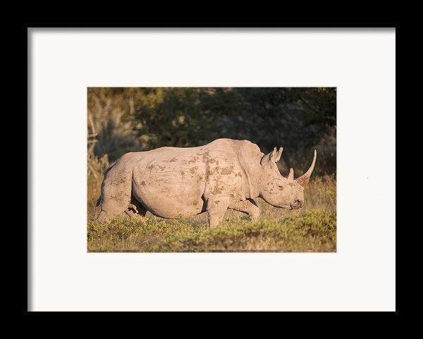 Female White Rhinoceros Framed Print By Science Photo Library