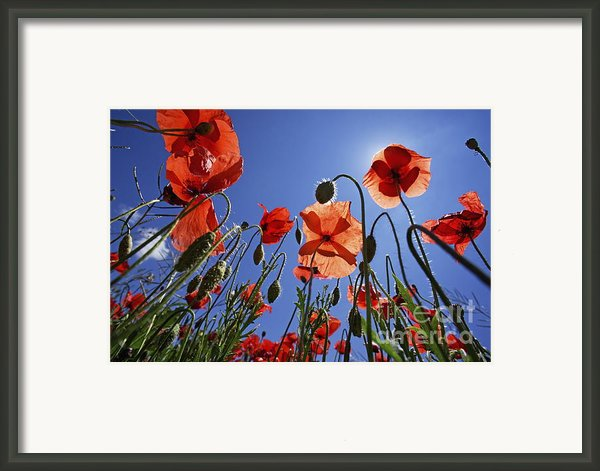 Field Of Poppies At Spring Framed Print By Sami Sarkis