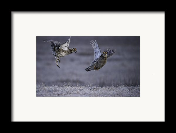 Fighting Prairie Chickens Framed Print By Thomas Young
