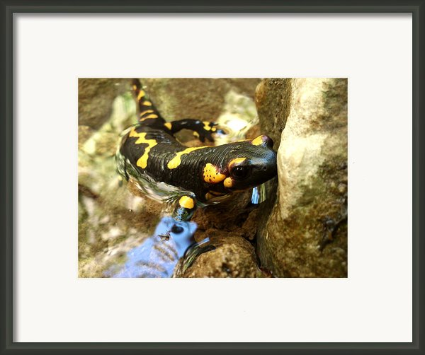 Fire Salamander  Framed Print By Lucy D
