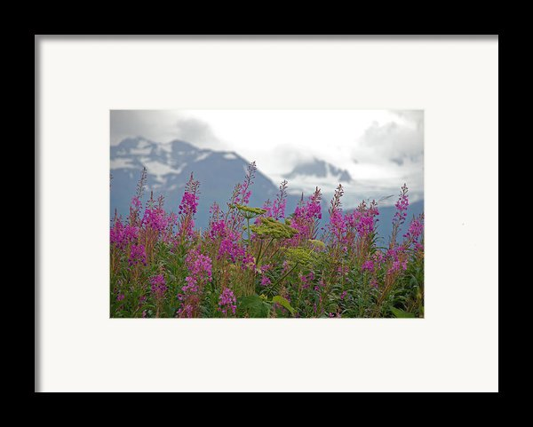 Fireweed Framed Print By Jim Cook