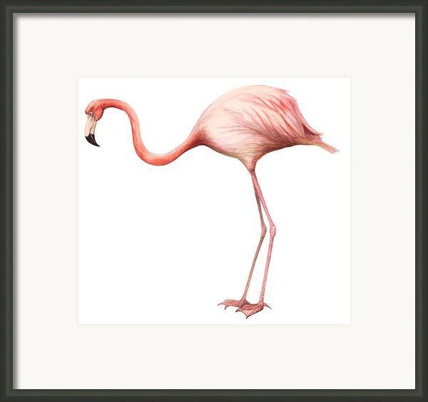 Flamingo Framed Print By Anonymous