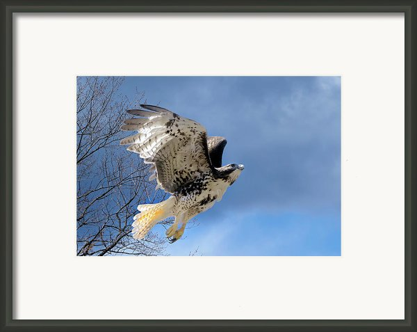 Flight Of The Red Tail Framed Print By Bill  Wakeley