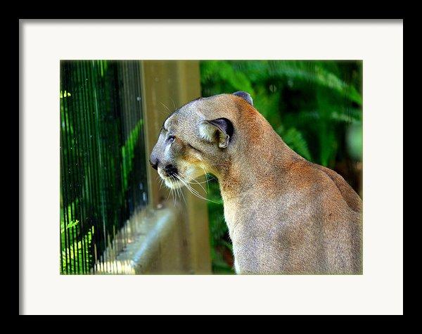 Florida Panther Framed Print By Amanda Vouglas