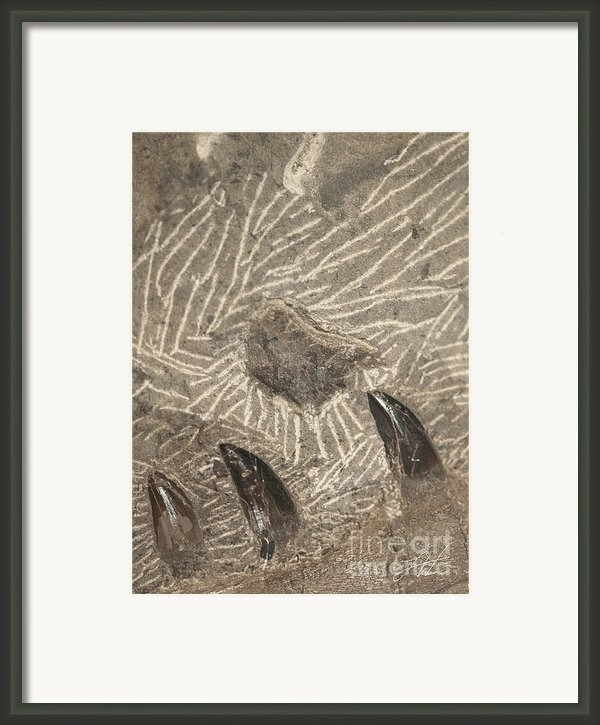 Fossil Shark Teeth Framed Print By Artist And Photographer Laura Wrede