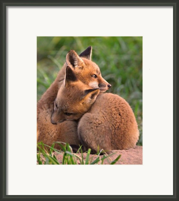 Fox Cubs Cuddle Framed Print By William Jobes