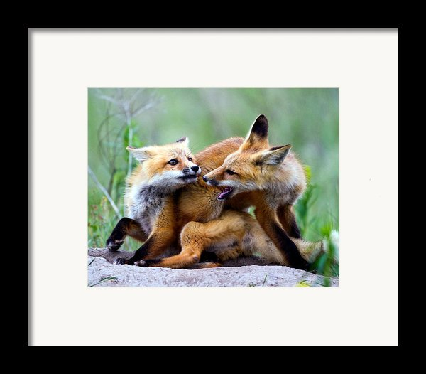 Fox Kits At Play - An Exercise In Dominance Framed Print By Merle Ann Loman