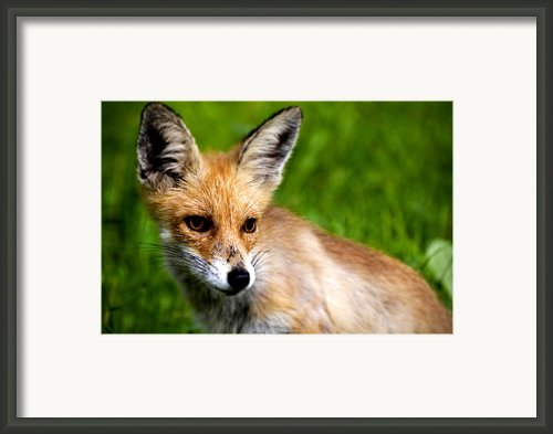 Fox Pup Framed Print By Fabrizio Troiani