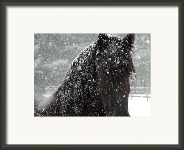 Friesian Snow Framed Print By Fran J Scott