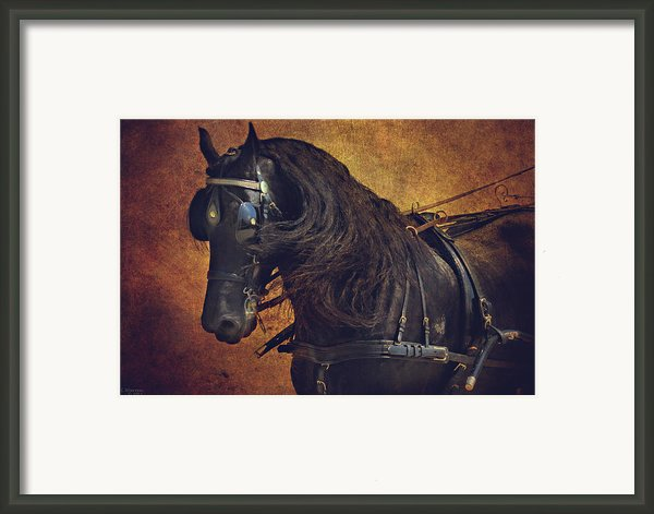 Friesian Under Harness Framed Print By Lyndsey Warren