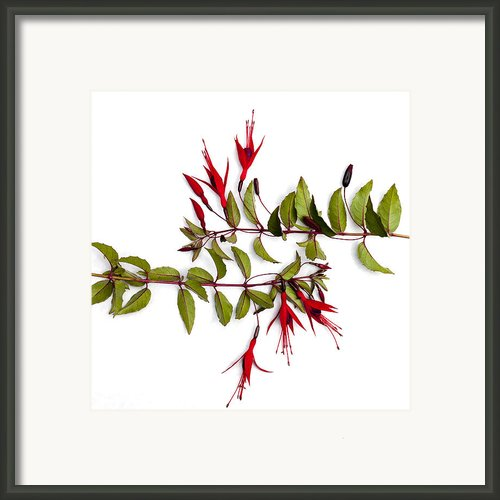 Fuchsia Stems On White Framed Print By Carol Leigh