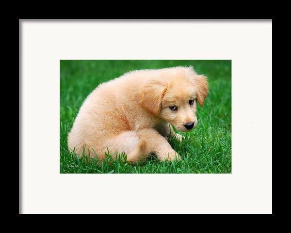 Fuzzy Golden Puppy Framed Print By Christina Rollo