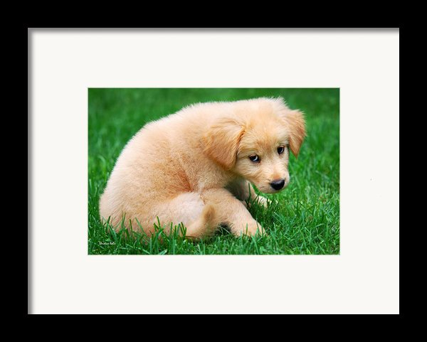 Fuzzy Golden Puppy Framed Print By Christina Rollo