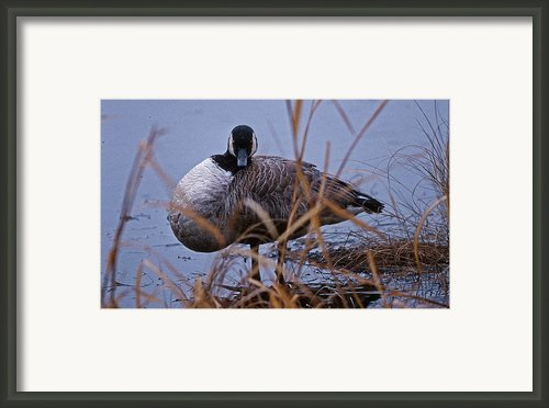 Gander Eyes Framed Print By Skip Willits