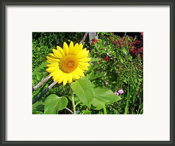 Garden Sunflower Framed Print By Aimee L Maher