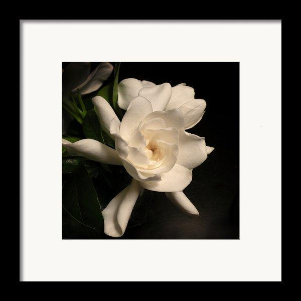 Gardenia Blossom Framed Print By Deborah Smith