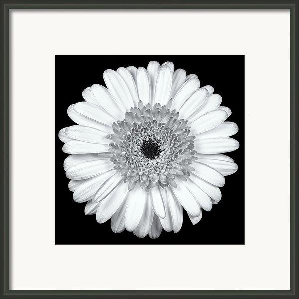 Gerbera Daisy Monochrome Framed Print By Adam Romanowicz
