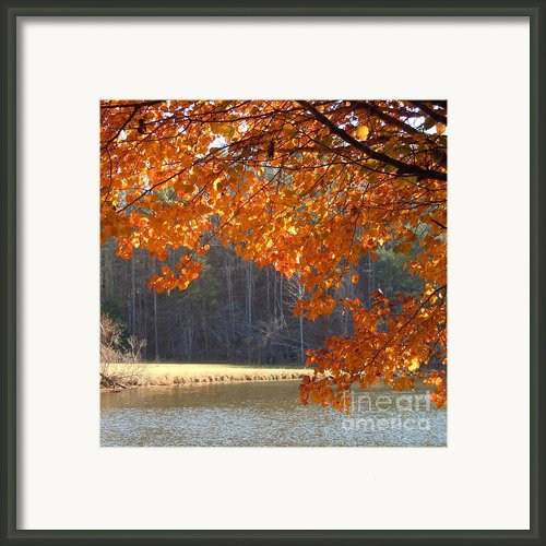 Golden Canopy Framed Print By Pauline Ross