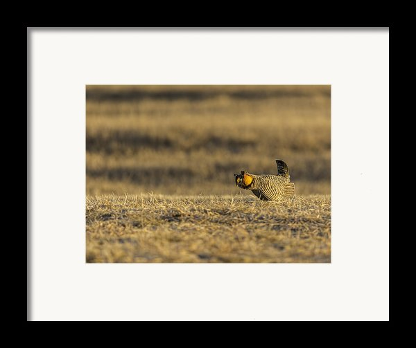 Golden Light On The Prairie Framed Print By Thomas Young