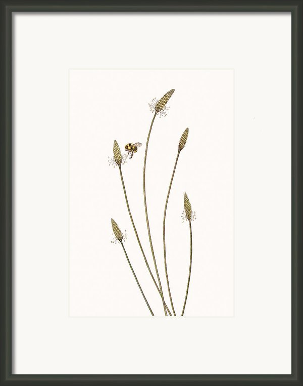 Golden Northern Bumble Bee Framed Print By Elizabeth Romanini