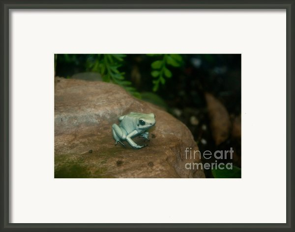 Golden Poison Frog Mint Green Morph Framed Print By Mark Newman